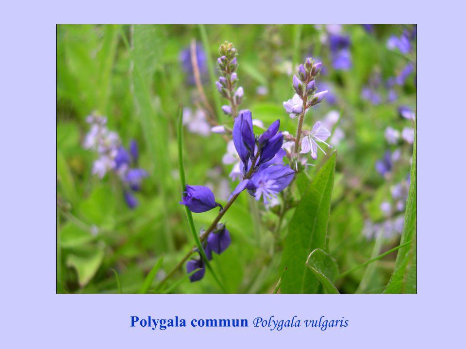 Polygala commun Polygala vulgaris