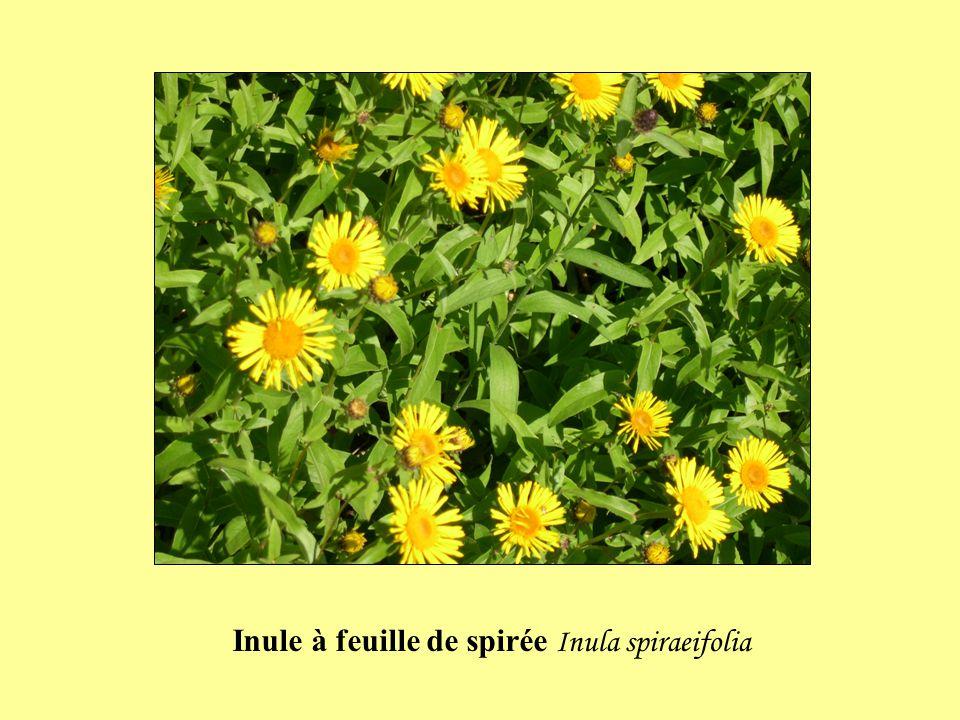 Inule à feuille de spirée Inula spiraeifolia