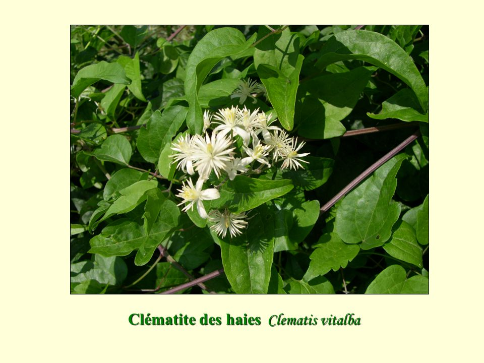 Clématite des haies Clematis vitalba