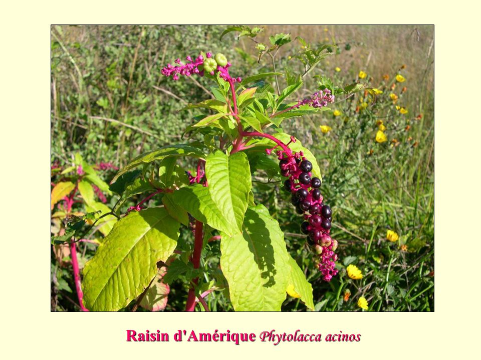Raisin d Amérique Phytolacca acinos
