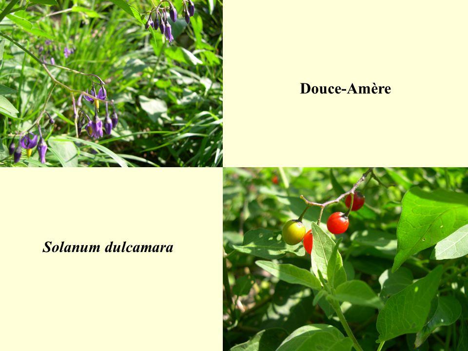 Douce-Amère Solanum dulcamara