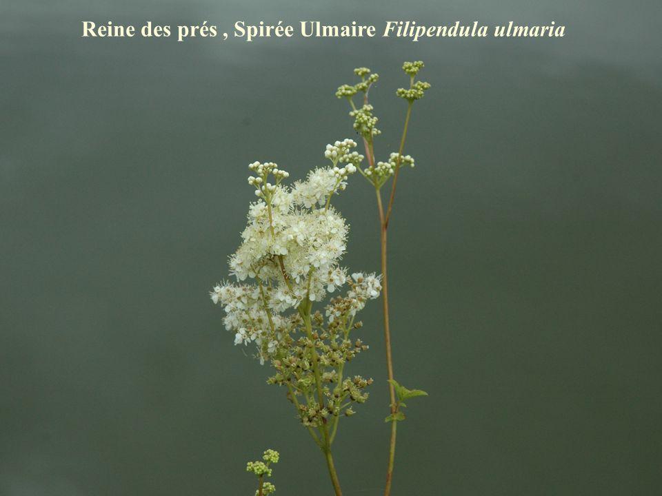 Reine des prés , Spirée Ulmaire Filipendula ulmaria