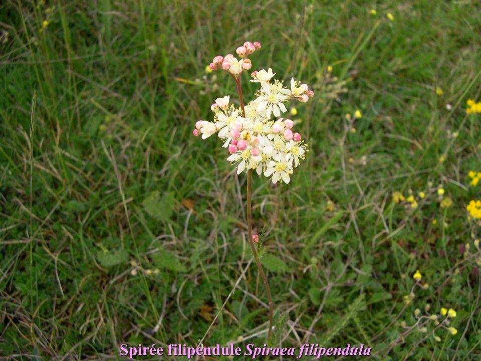 Spirée filipendule Spiraea filipendula