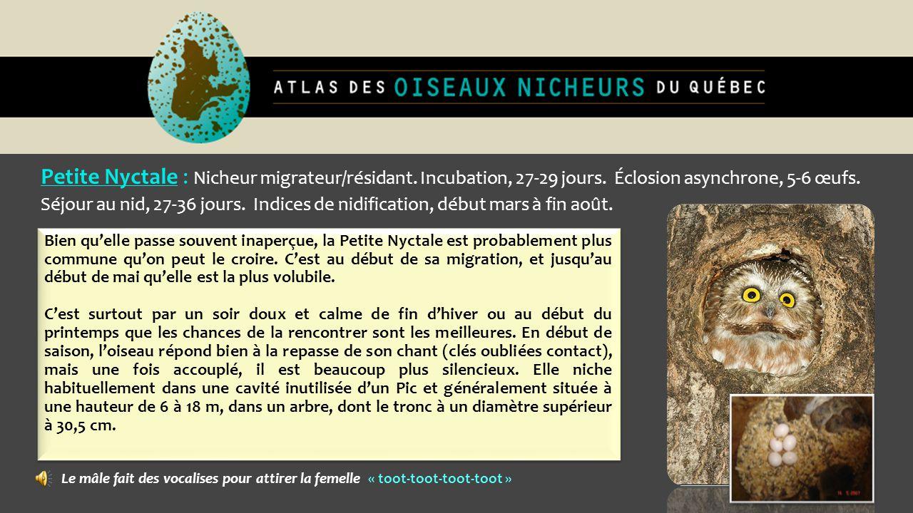 Petite Nyctale : Nicheur migrateur/résidant. Incubation, 27-29 jours