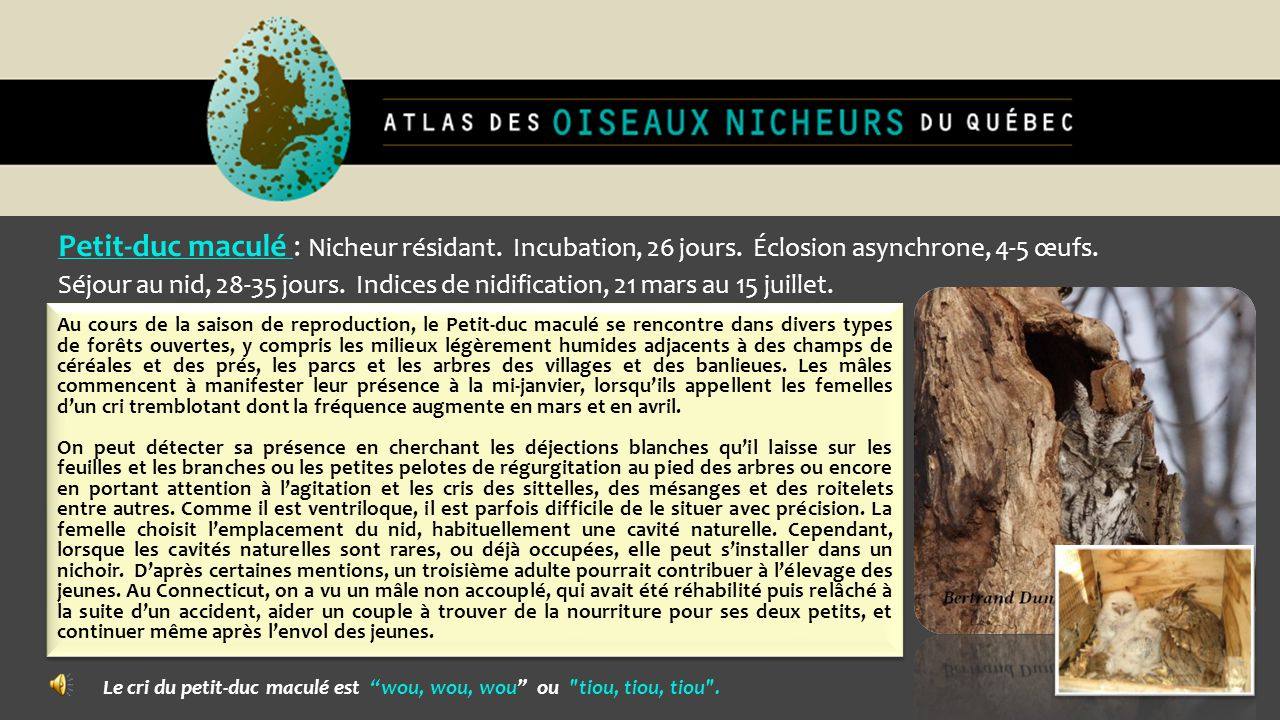 Petit-duc maculé : Nicheur résidant. Incubation, 26 jours