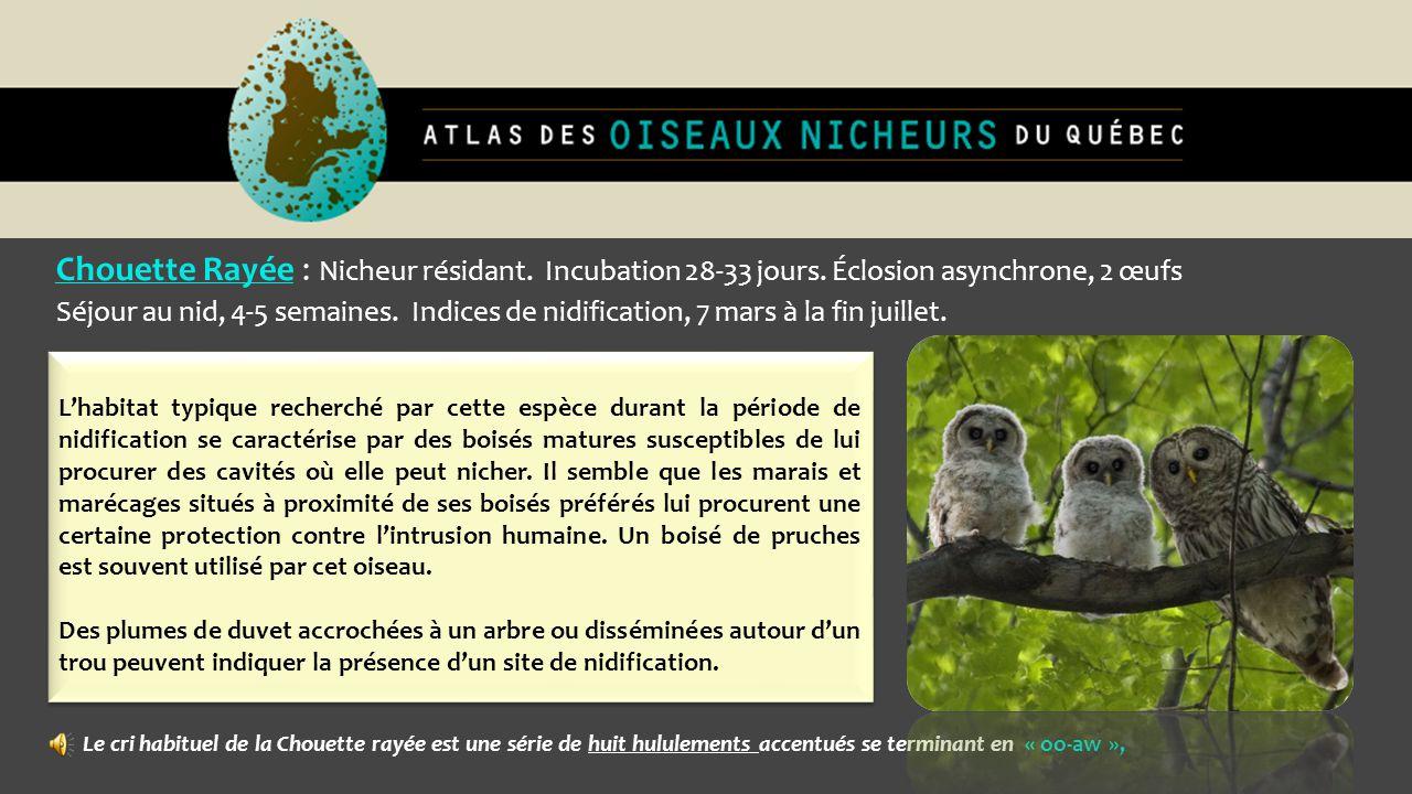 Chouette Rayée : Nicheur résidant. Incubation 28-33 jours