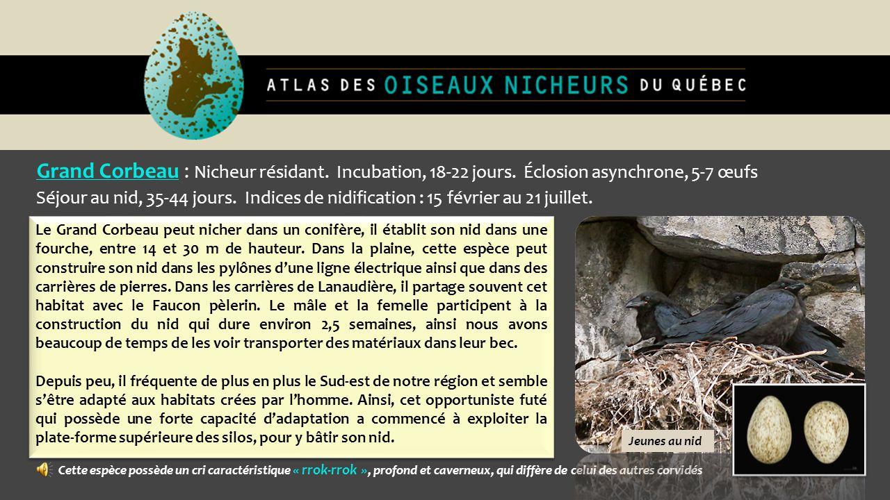 Grand Corbeau : Nicheur résidant. Incubation, 18-22 jours