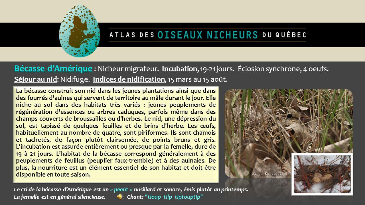 Bécasse d'Amérique : Nicheur migrateur. Incubation, 19-21 jours