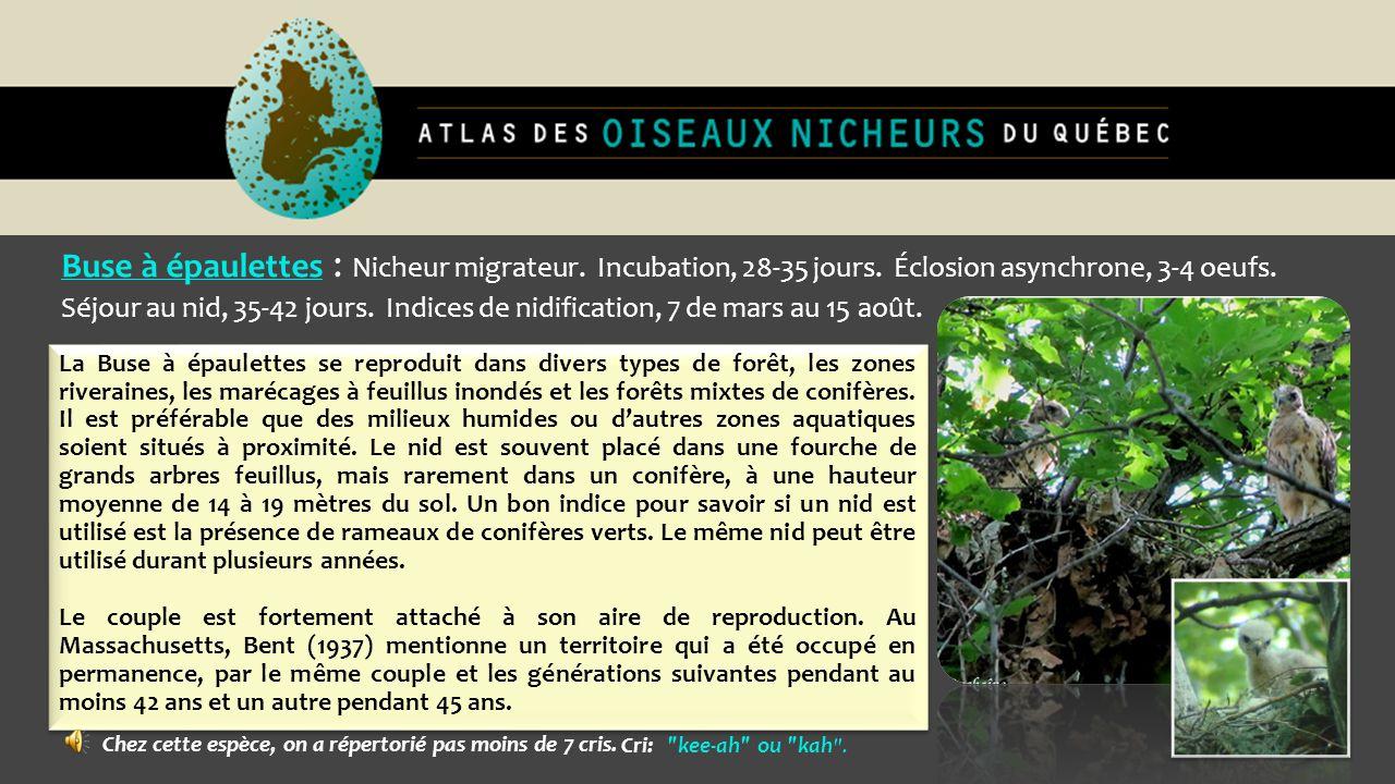 Buse à épaulettes : Nicheur migrateur. Incubation, 28-35 jours