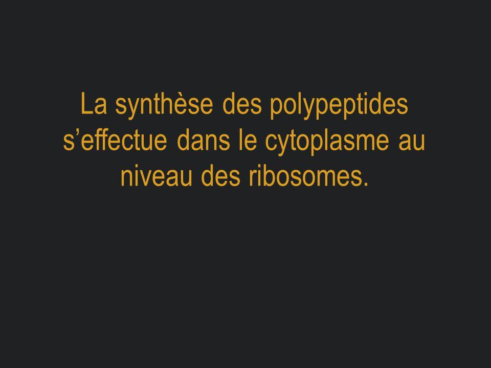 La synthèse des polypeptides s'effectue dans le cytoplasme au niveau des ribosomes.