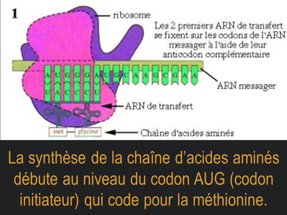 La synthèse de la chaîne d'acides aminés débute au niveau du codon AUG (codon initiateur) qui code pour la méthionine.