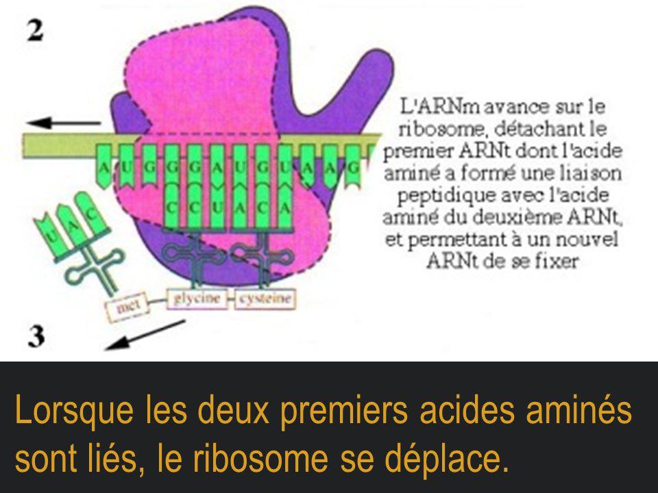 Lorsque les deux premiers acides aminés sont liés, le ribosome se déplace.