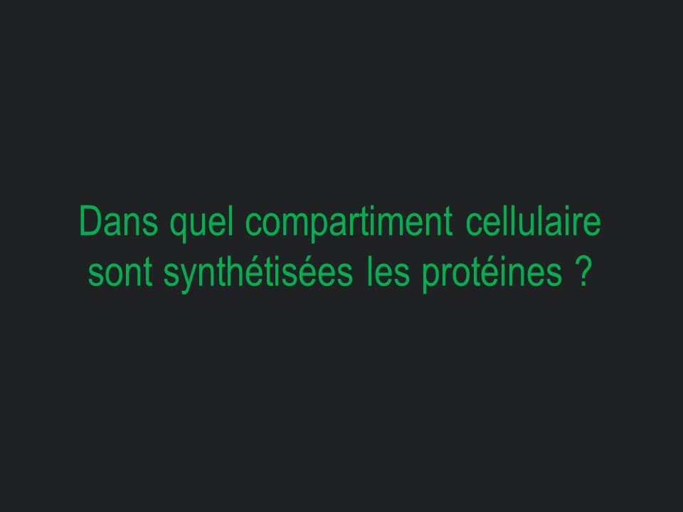 Dans quel compartiment cellulaire sont synthétisées les protéines