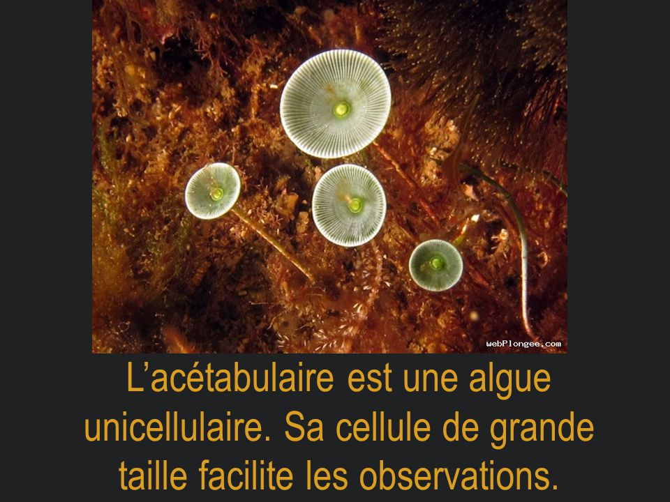 L'acétabulaire est une algue unicellulaire