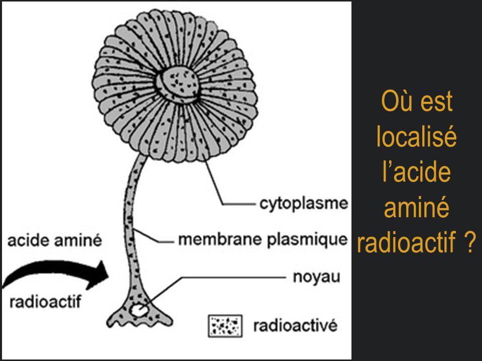 Où est localisé l'acide aminé radioactif