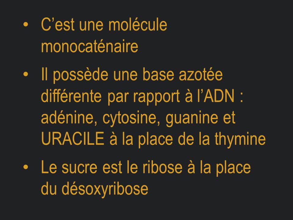 C'est une molécule monocaténaire