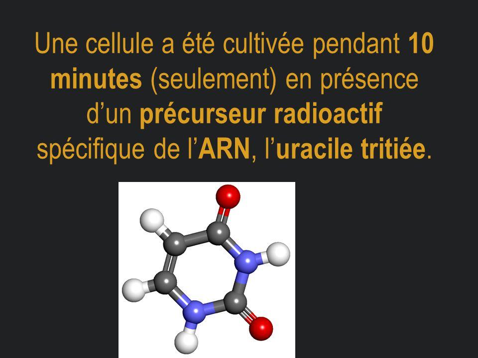 Une cellule a été cultivée pendant 10 minutes (seulement) en présence d'un précurseur radioactif spécifique de l'ARN, l'uracile tritiée.
