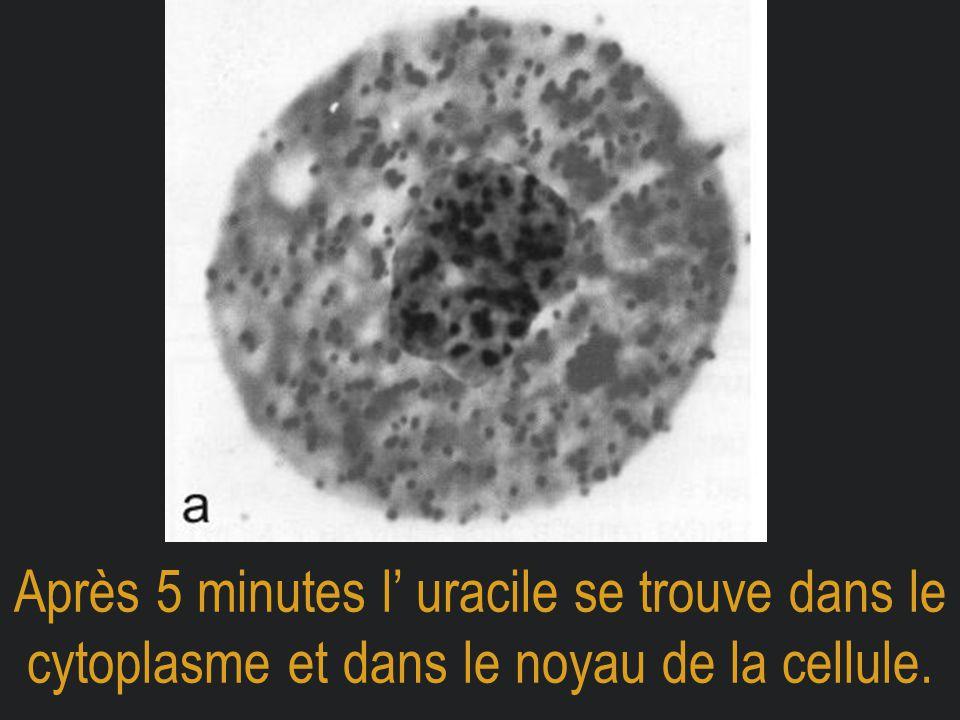 Après 5 minutes l' uracile se trouve dans le cytoplasme et dans le noyau de la cellule.