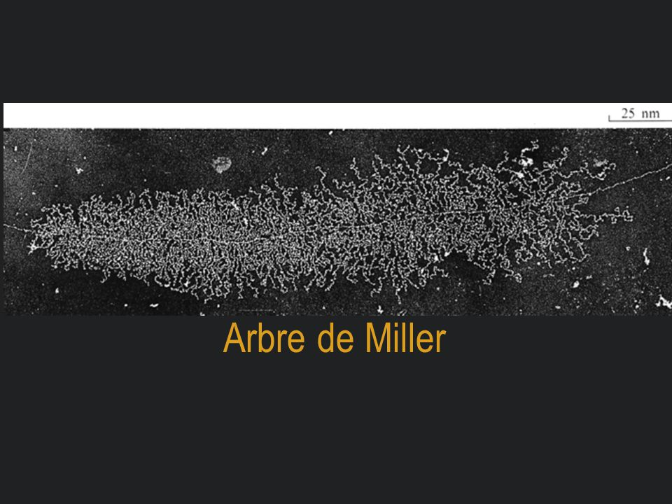 Arbre de Miller