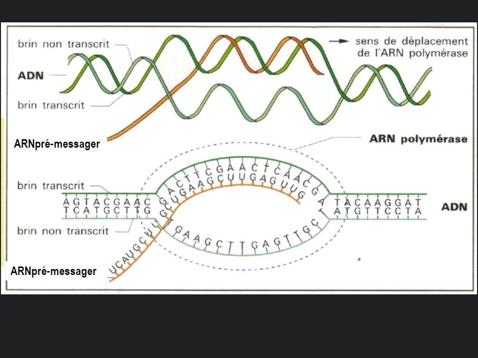 ARNpré-messager ARNpré-messager