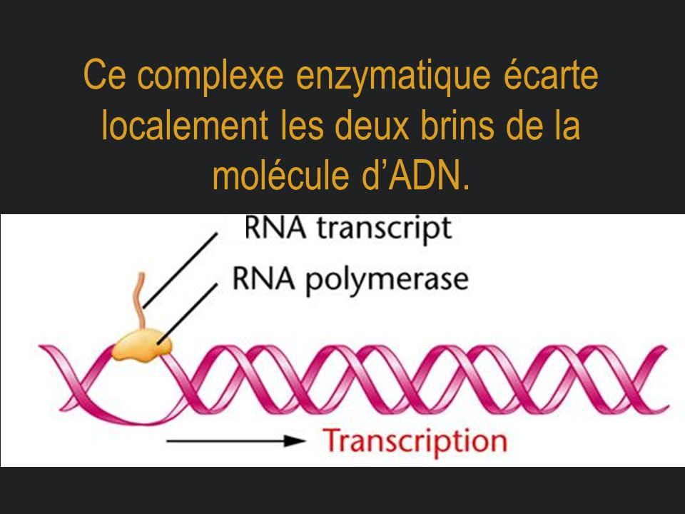Ce complexe enzymatique écarte localement les deux brins de la molécule d'ADN.