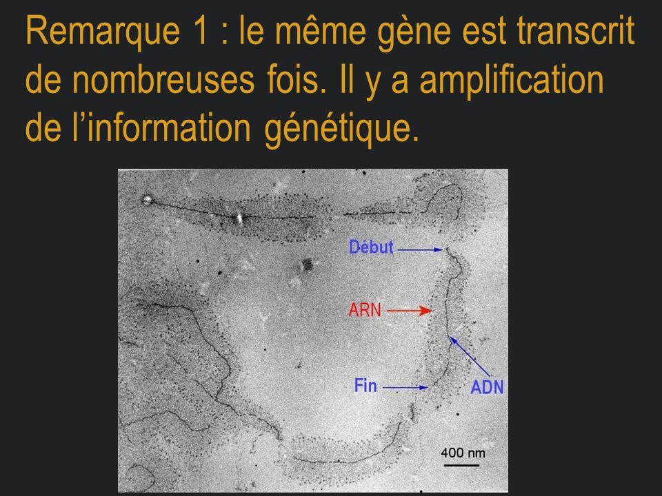 Remarque 1 : le même gène est transcrit de nombreuses fois