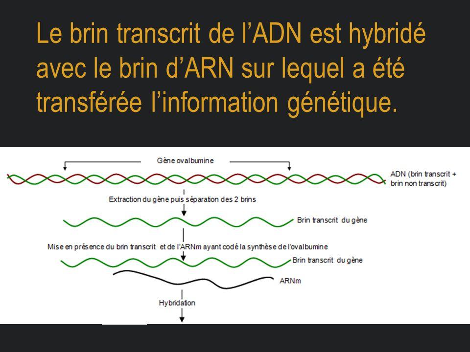 Le brin transcrit de l'ADN est hybridé avec le brin d'ARN sur lequel a été transférée l'information génétique.