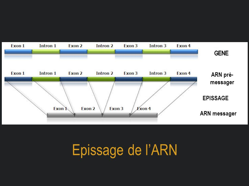 GENE ARN pré-messager EPISSAGE ARN messager Epissage de l'ARN