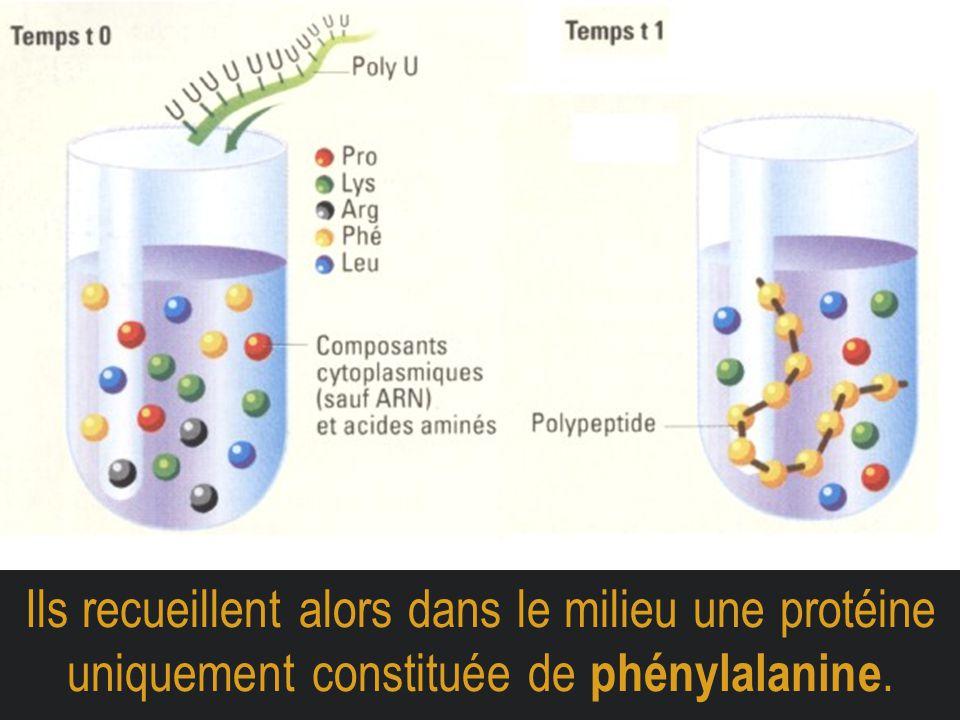 Ils recueillent alors dans le milieu une protéine uniquement constituée de phénylalanine.