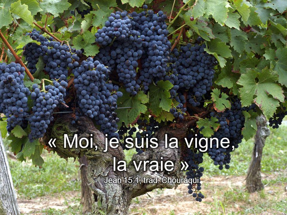 « Moi, je suis la vigne, la vraie » Jean 15:1, trad. Chouraqui