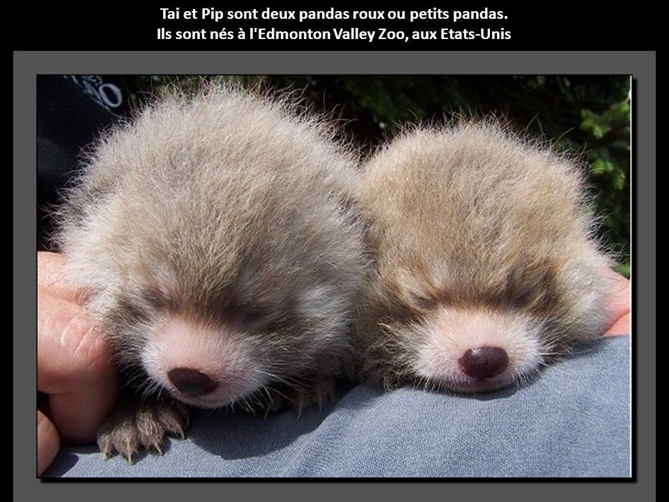 Tai et Pip sont deux pandas roux ou petits pandas.