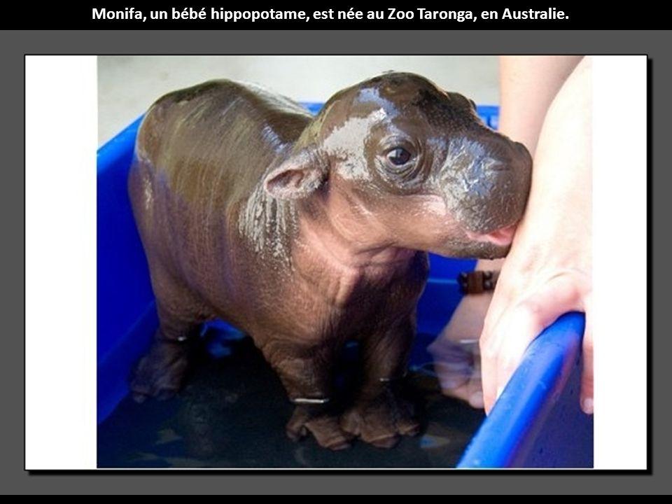 Monifa, un bébé hippopotame, est née au Zoo Taronga, en Australie.