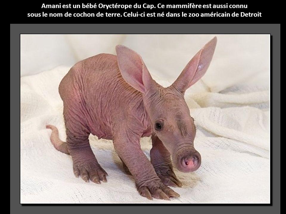 Amani est un bébé Oryctérope du Cap. Ce mammifère est aussi connu