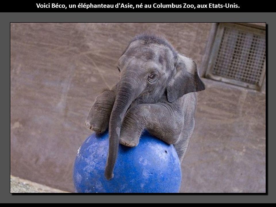 Voici Béco, un éléphanteau d Asie, né au Columbus Zoo, aux Etats-Unis.