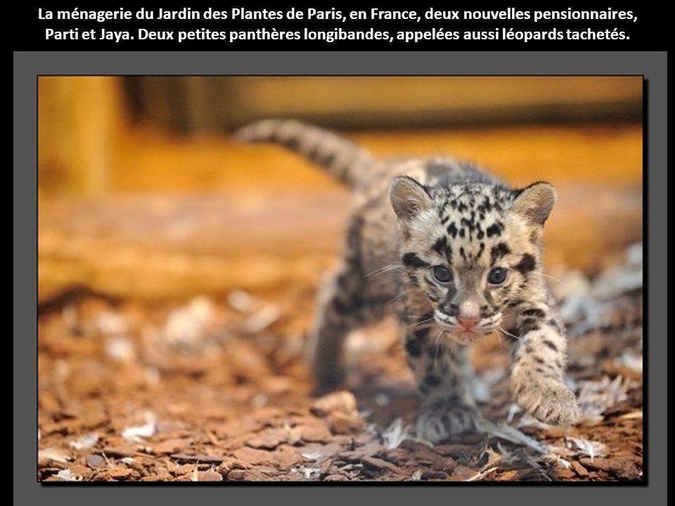 La ménagerie du Jardin des Plantes de Paris, en France, deux nouvelles pensionnaires,