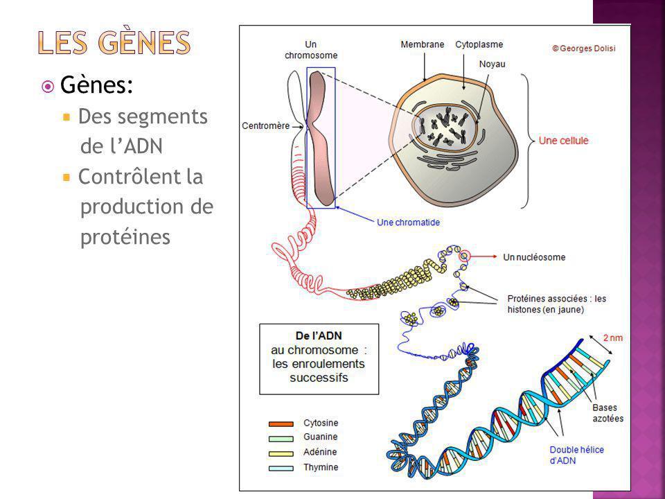 LES gènes Gènes: Des segments de l'ADN Contrôlent la production de