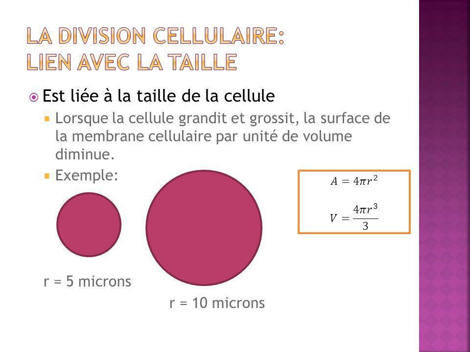 La Division cellulaire: lien avec la taille