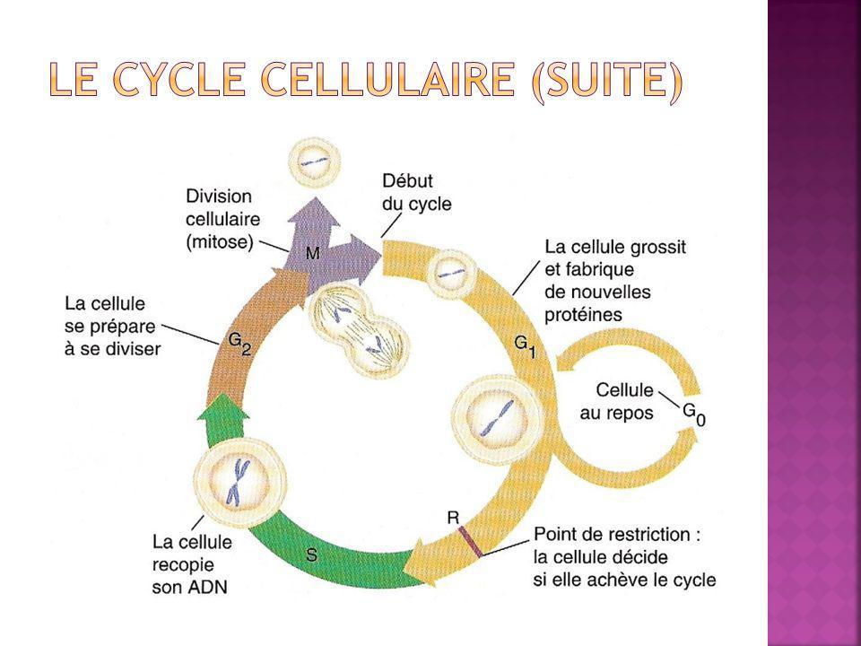 Le cycle cellulaire (suite)