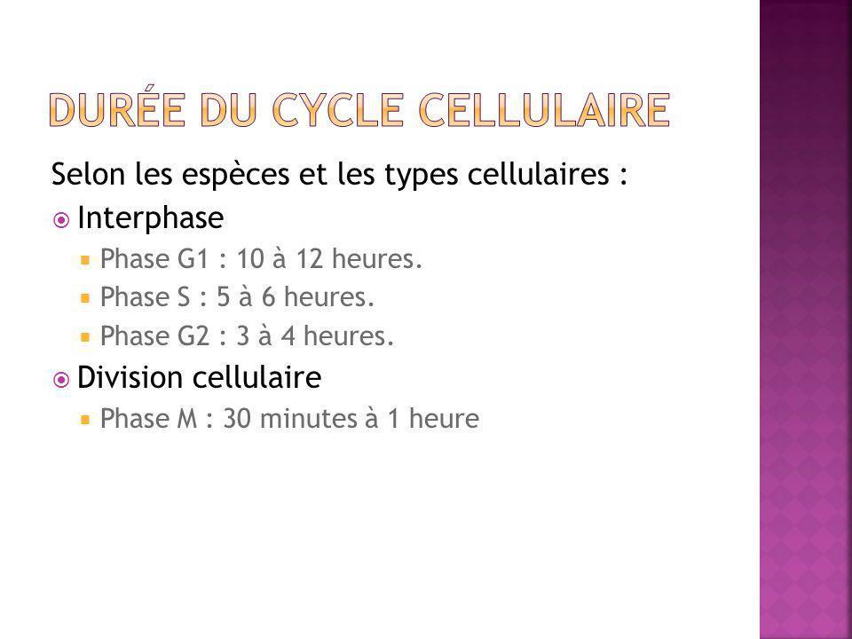 Durée du cycle cellulaire