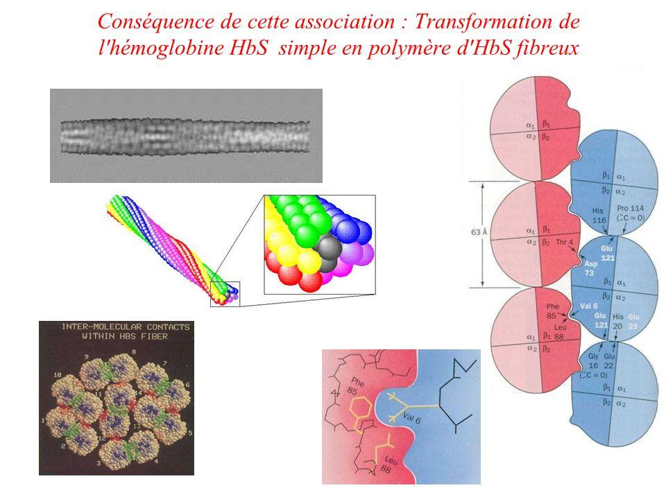 Conséquence de cette association : Transformation de l hémoglobine HbS simple en polymère d HbS fibreux