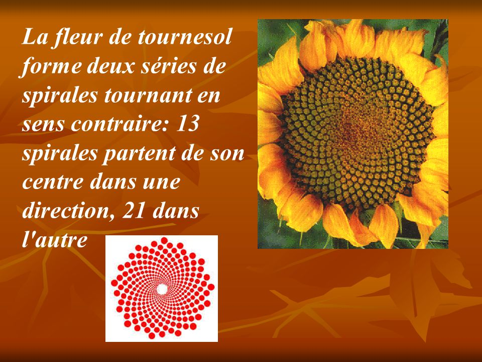 La fleur de tournesol forme deux séries de spirales tournant en sens contraire: 13 spirales partent de son centre dans une direction, 21 dans l autre