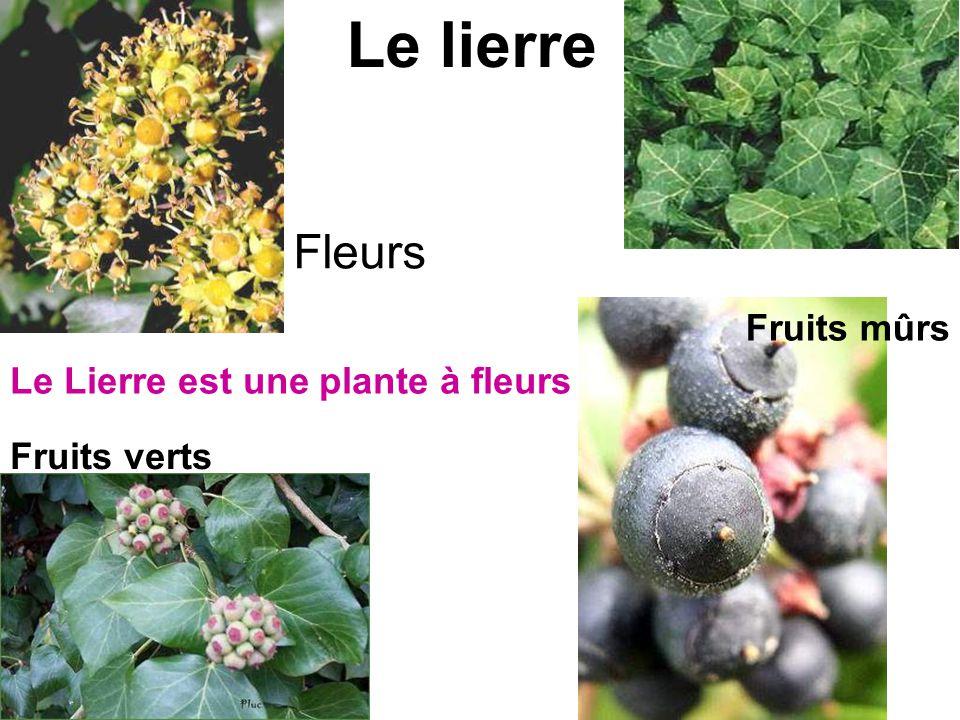 Le lierre Fleurs Fruits mûrs Le Lierre est une plante à fleurs