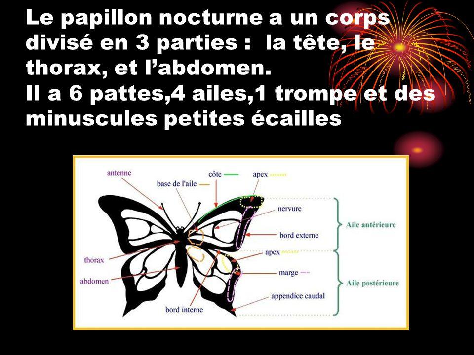 Le papillon nocturne a un corps divisé en 3 parties : la tête, le thorax, et l'abdomen.