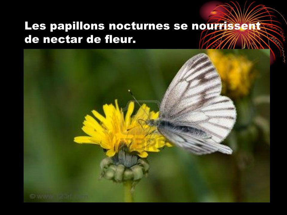 Les papillons nocturnes se nourrissent de nectar de fleur.