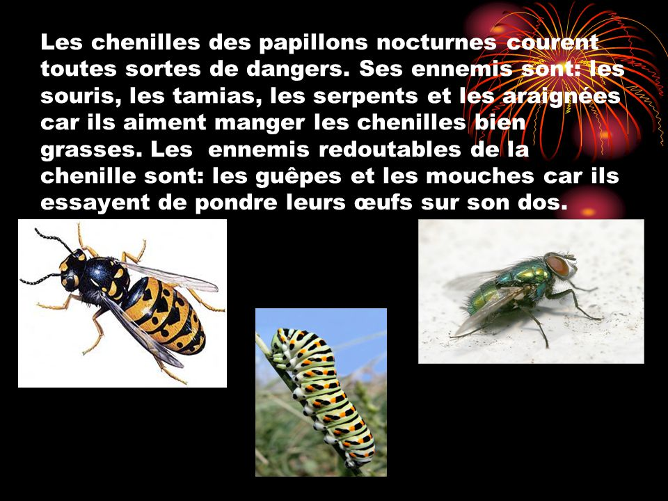 Les chenilles des papillons nocturnes courent toutes sortes de dangers