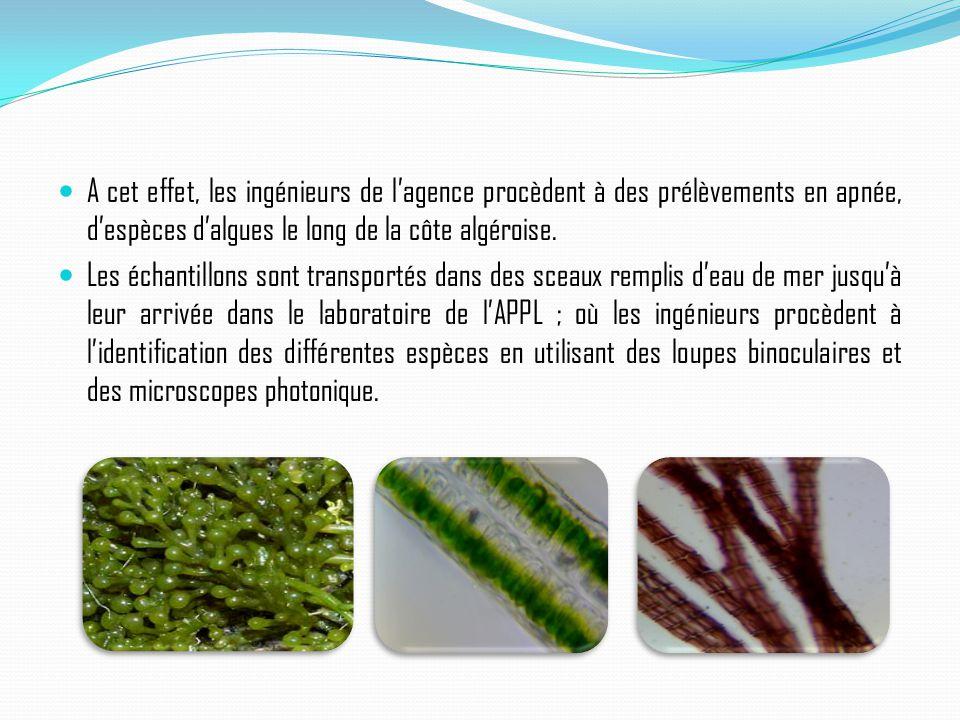 A cet effet, les ingénieurs de l'agence procèdent à des prélèvements en apnée, d'espèces d'algues le long de la côte algéroise.