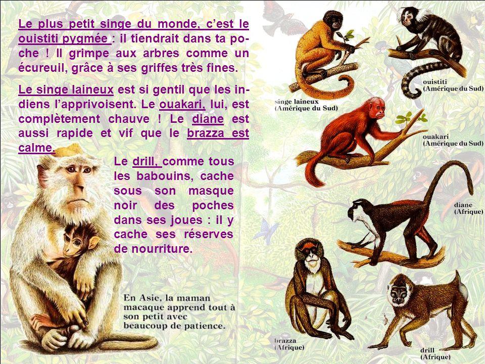 Le plus petit singe du monde, c'est le ouistiti pygmée : il tiendrait dans ta po-che ! Il grimpe aux arbres comme un écureuil, grâce à ses griffes très fines.