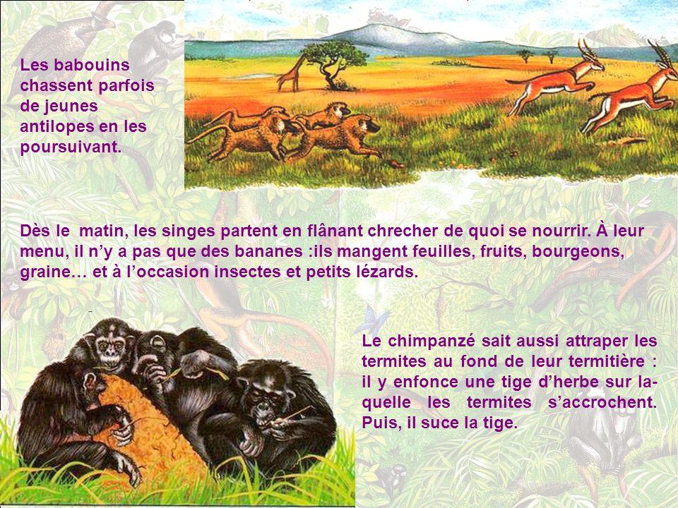 Les babouins chassent parfois de jeunes antilopes en les poursuivant.