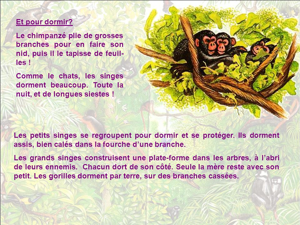 Et pour dormir Le chimpanzé plie de grosses branches pour en faire son nid, puis il le tapisse de feuil-les !