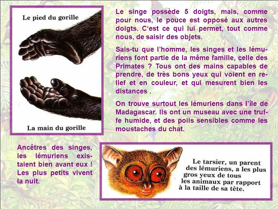 Le singe possède 5 doigts, mais, comme pour nous, le pouce est opposé aux autres doigts. C'est ce qui lui permet, tout comme nous, de saisir des objets.